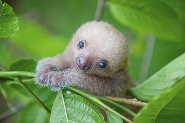 Ленивцы — милейшие представители мира фауны