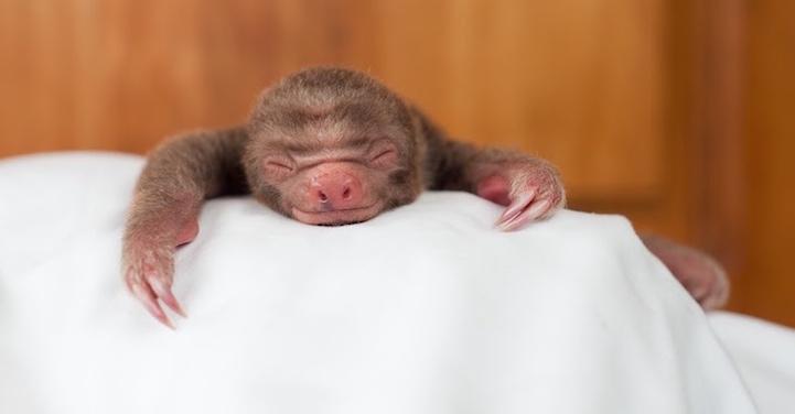 ленивцы, фотографии, Сэм Трулл, Sam Trull