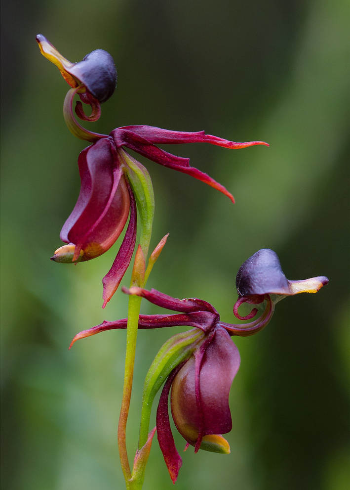 Орхидея Калеана (Caleana Major)