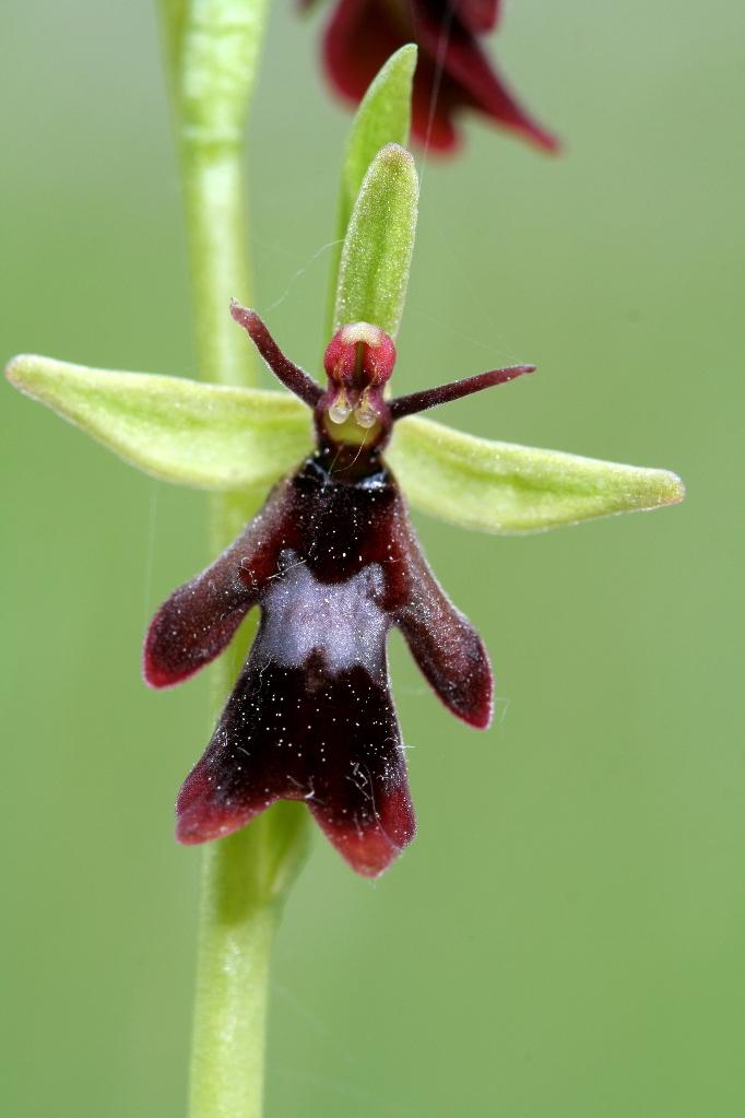 Орхидея Офрис насекомоносная (Ophrys insectifera)