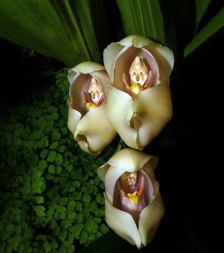 Орхидея Ангулоя (Anguloa Uniflora)
