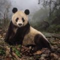"Photograph by Ami Vitale  Ye Ye, a 16-year-old giant panda, lounges in a wild enclosure at a conservation center in Wolong Nature Reserve. Her name, whose characters represent Japan and China, celebrates the friendship between the two nations. Ye Ye's cub Hua Yan (Pretty Girl) is being trained for release into the wild.  PERMITTED USE: This image may be downloaded or is otherwise provided at no charge for one-time use for coverage or promotion of National Geographic magazine dated August 2016 and exclusively in conjunction thereof.  No copying, distribution or archiving permitted.  Sub-licensing, sale or resale is prohibited.   REQUIRED CREDIT AND CAPTION: All image uses must bear the copyright notice and be properly credited to the relevant photographer, as shown in this metadata, and must be accompanied by a caption, which makes reference to NGM.  Any uses in which the image appears without proper copyright notice, photographer credit and a caption referencing NGM are subject to paid licensing.   Mandatory usage requirements: Mandatory usage requirements: (Please note: you may select 5 branded images for online use and 3 images for print/unbranded)   1. Include mandatory photo credit with each image © Photographer / National Geographic 2. Show the August cover of National Geographic somewhere in the post (credit: National Geographic) unless using only one image 3. Provide a prominent link to:http://www.nationalgeographic.com/magazine/2016/08/giant-pandas-wild-animals-national-parks/ at the top of your piece, ahead of the photos 4. Mention that the images are from ""the August issue of National Geographic magazine""  DROPBOX Link to Images: https://www.dropbox.com/sh/8zg6ztwv5prfnj0/AABFepCHrEsNMEdKFymA6Unva?dl=0"