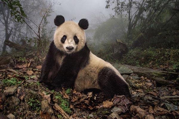 Резервация Волун и её очаровательные жители — панды