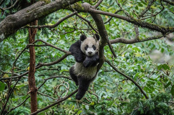 Резервация Волун, панды, Ами Витале Ami Vitale
