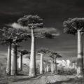 Самые величественные деревья мира в проекте Бет Мун