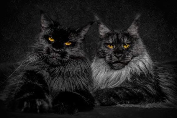 Выразительная красота мейн-кунов в серии фотографий Роберта Сижка