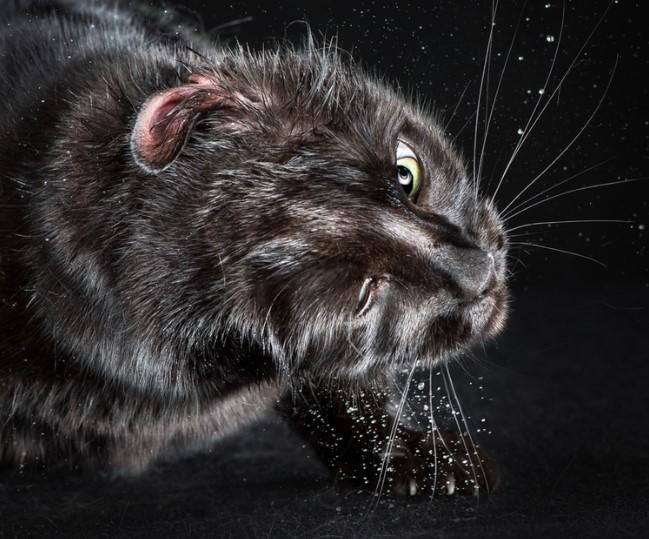 портреты котов, отряхивающиеся коты, Карли Дэвидсон