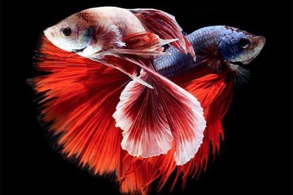 Восхитительные портреты бойцовских рыбок от Висарута Ангкатаванича