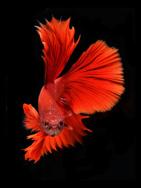 Портреты бойцовских рыбок от Висарута Ангкатаванича