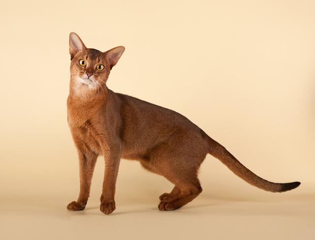 грациозная кошка