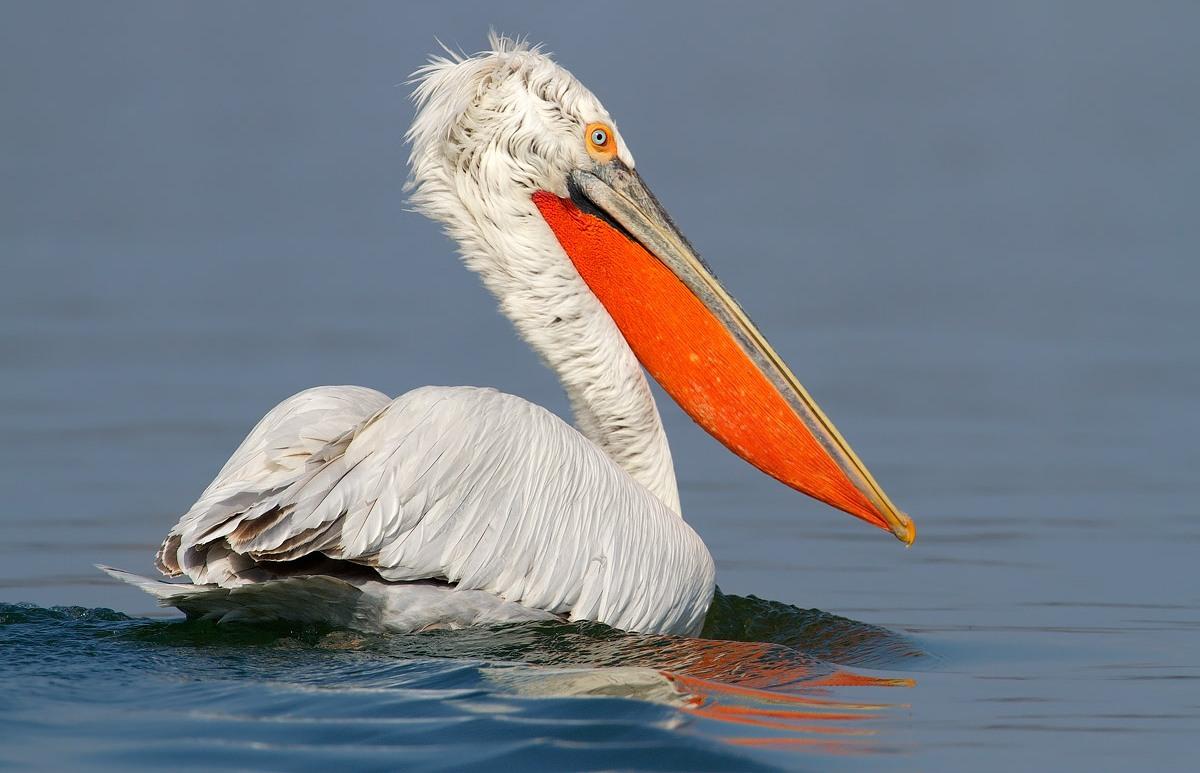 Фотография пеликана