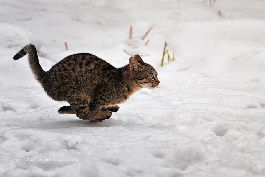 кот бежит по снегу