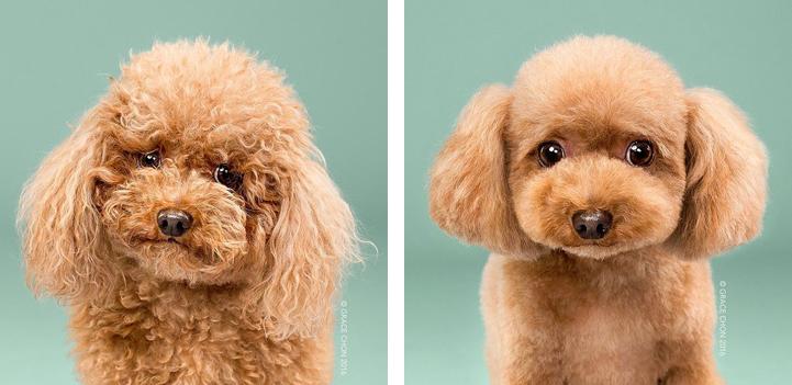 портреты собак до и после стрижки, Грейс Чон, Grace Chon, Healthy spot, Hairy