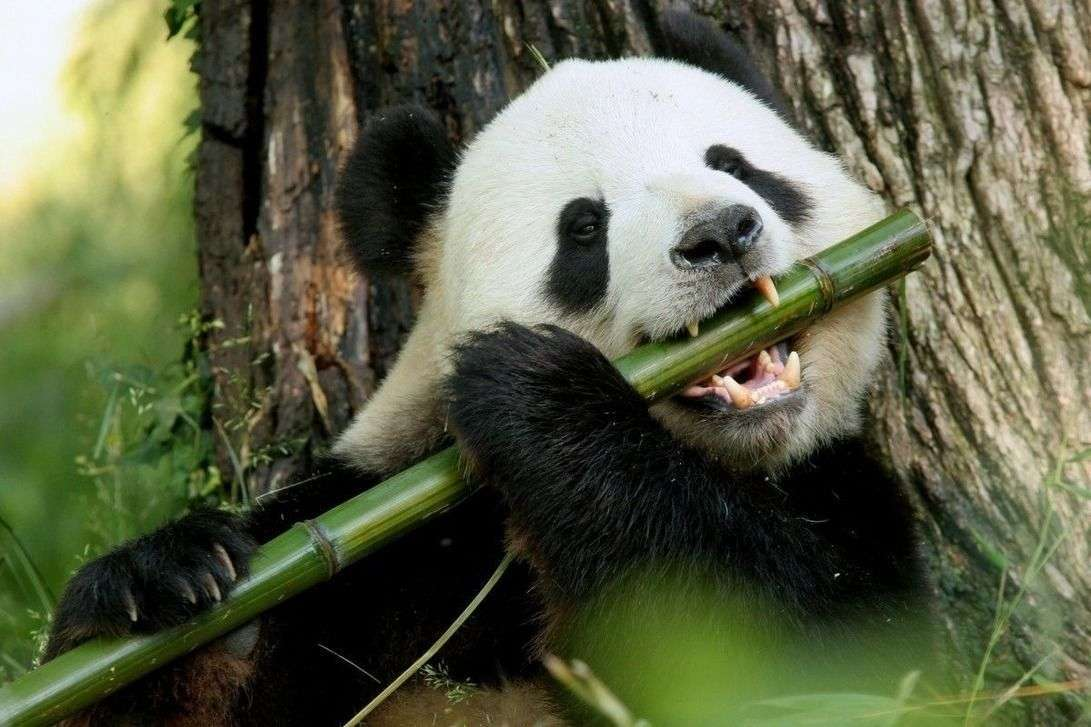 Панда есть бамбук