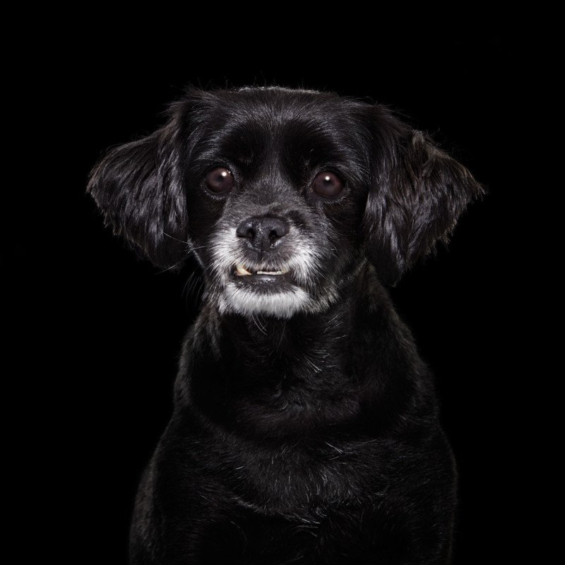 Портреты чёрных собак в благотворительном проекте Шайны Фишман