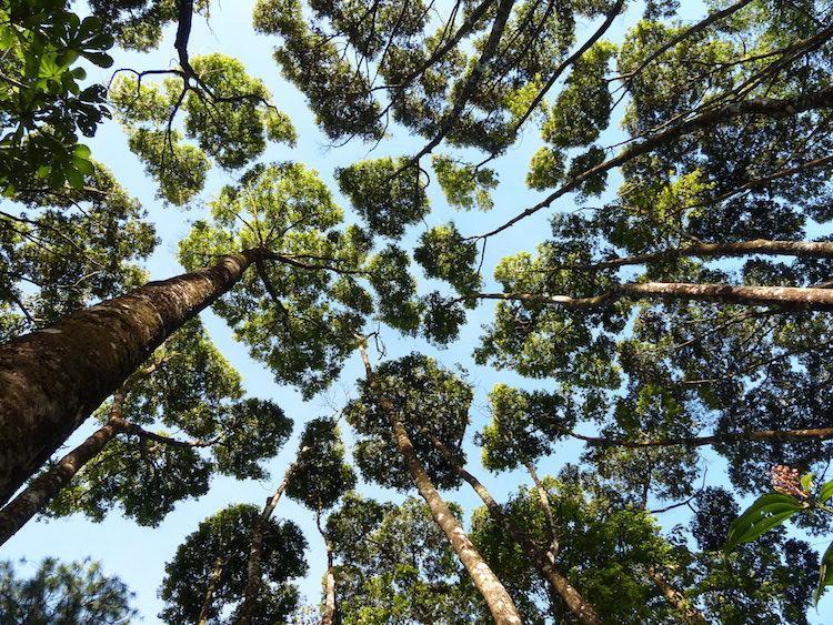 «Застенчивость кроны» - уникальное природное явление