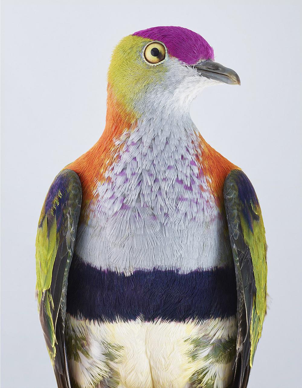 Пёстрый голубь, или фруктовая горлица