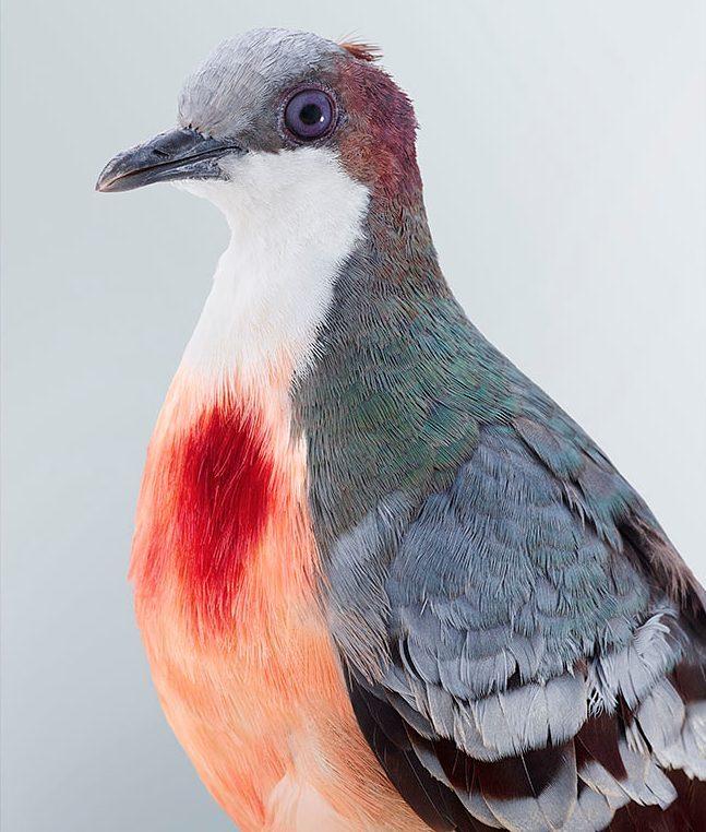 Лусонский кровавогрудый куриный голубь