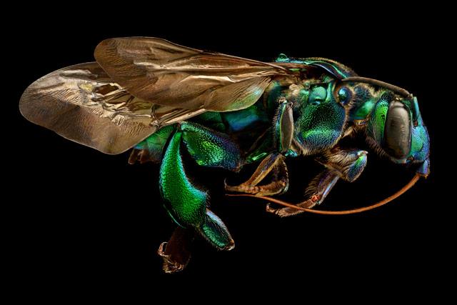 13-е место:род пчёл экзаэрета. ФотографLevon Biss