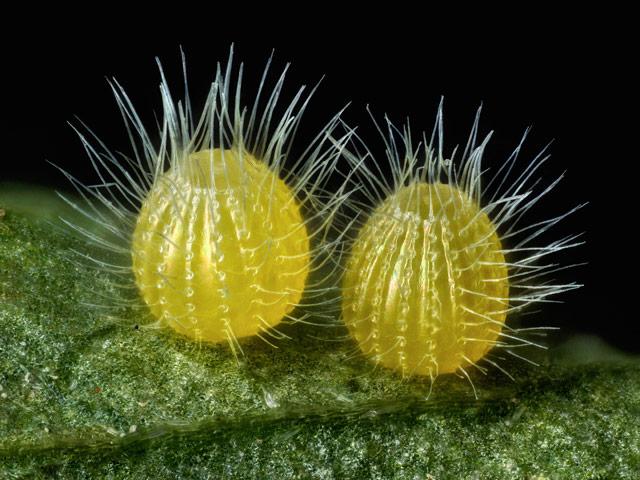 14-е место:яйца бабочки из рода нимфалиды. ФотографDavid Millard