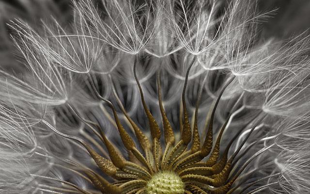 2-е место: семя крестовника обыкновенного. Фотограф Havi Sarfaty