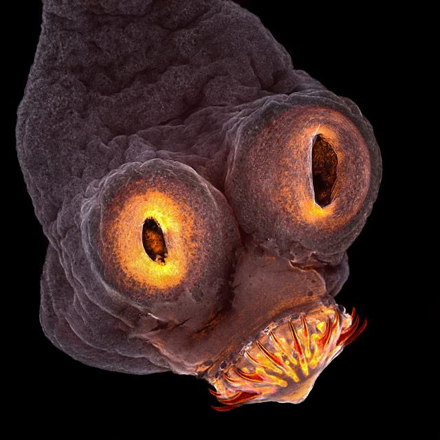 4-е место: паразит свиной цепень. ФотографTeresa Zgoda