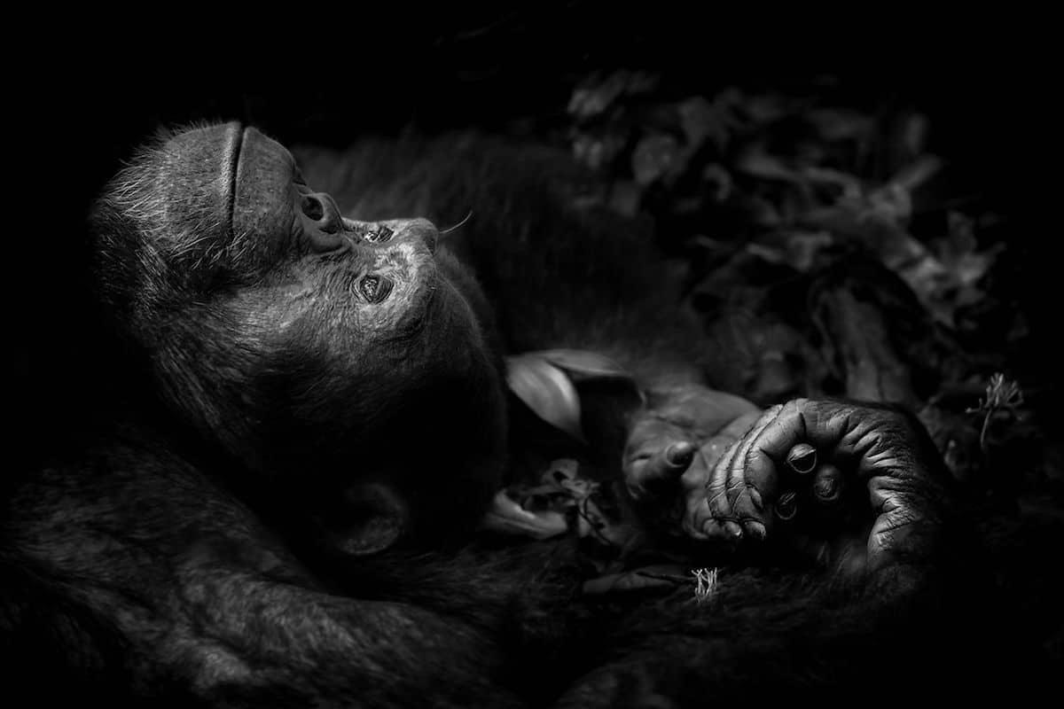 Победитель в номинации«Портреты животных». ФотографPeter Delaney, Ирландия/Южная Африка