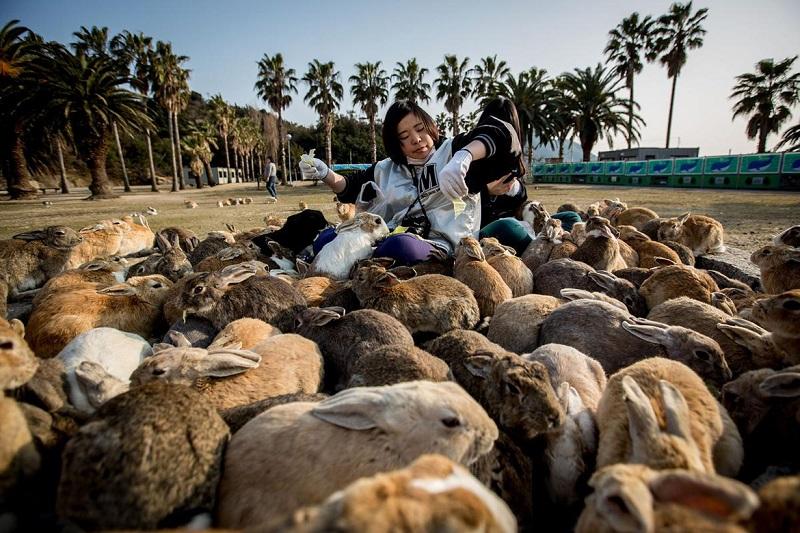 Остров кроликов, Япония