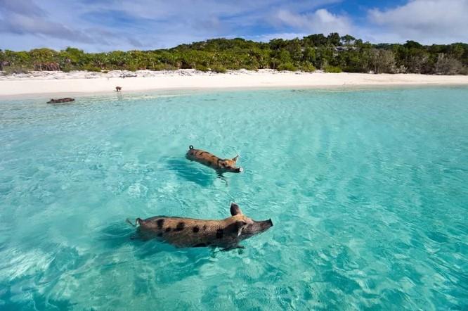 Pig Beach,Багамские Острова