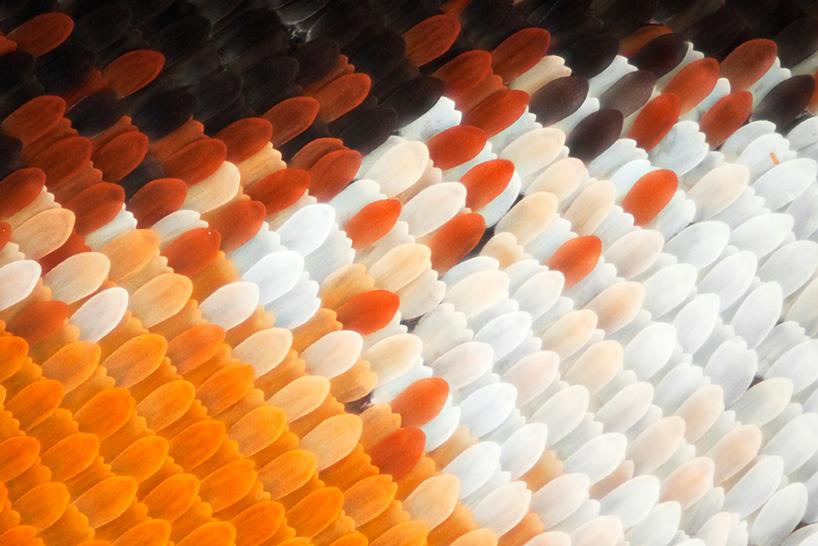 Данаида монарх ((Danaus plexippus)