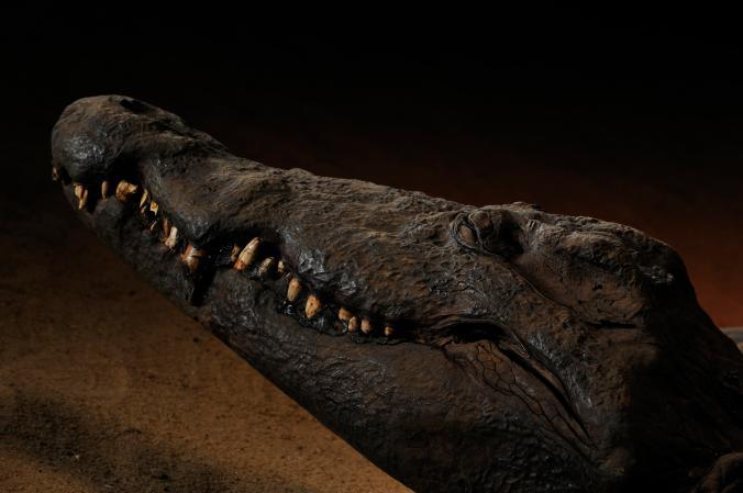 Мумия крокодила Древнего Египта