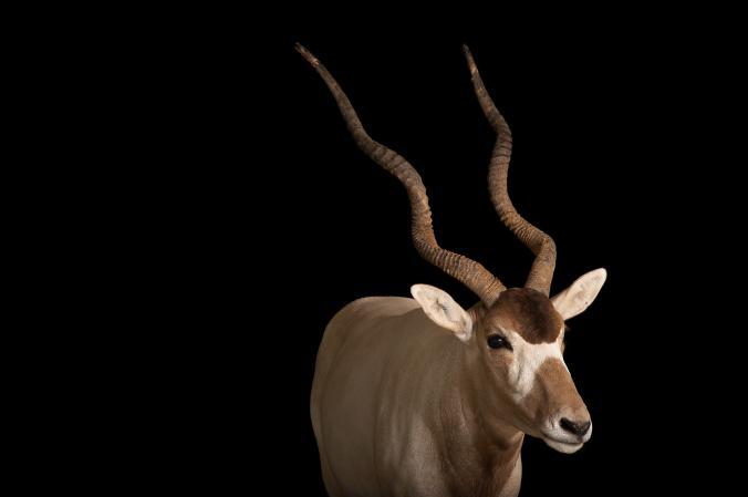Аддакс (антилопа мендес)