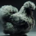 Цып-цып: выразительные портреты фермерских птиц