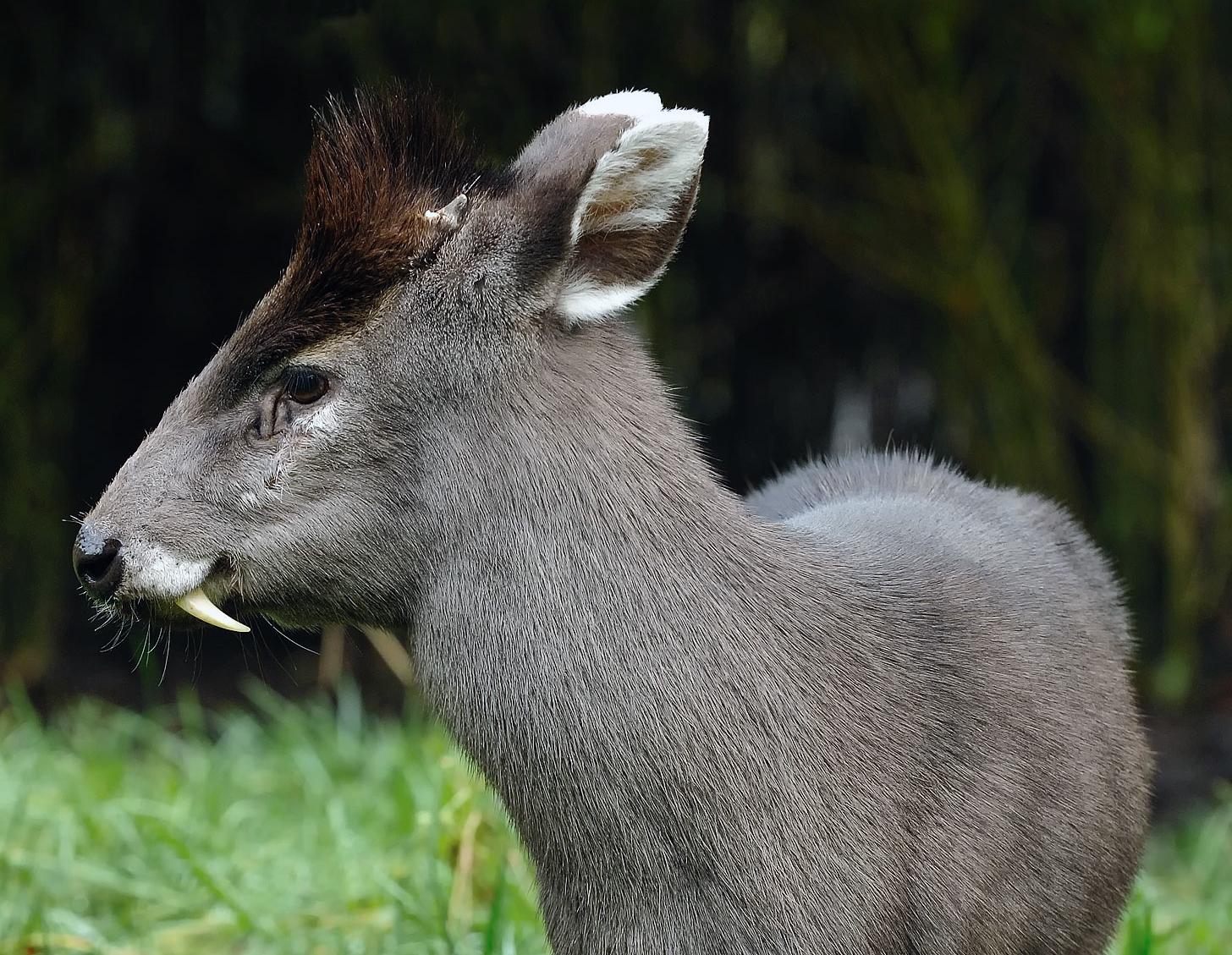 Хохлатый олень