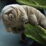 Тихоходка — животное, способное пережить апокалипсис