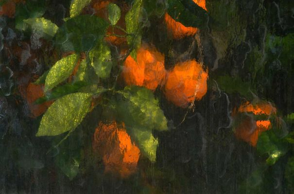 Апельсины, сфотографированные через стекло оранжереи