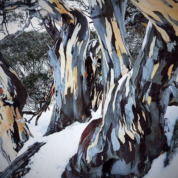 Удивительная кораэвкалипта малоцветкового, похожая на живопись