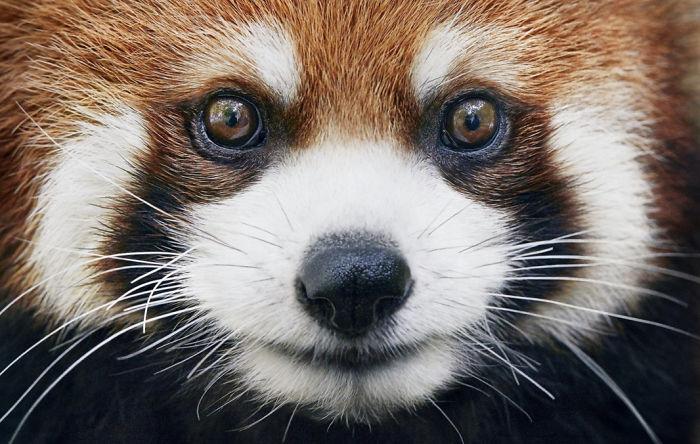 Малая (красная) панда