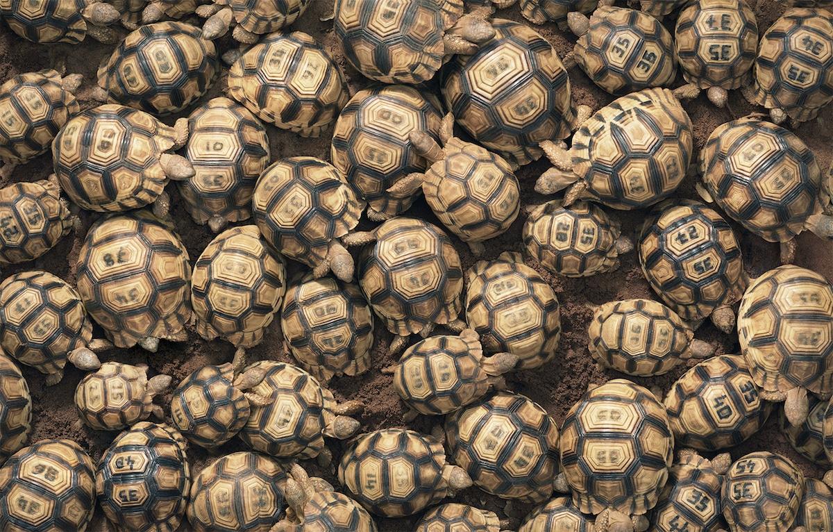 Мадагаскарская клювогрудая черепаха (ангонока)