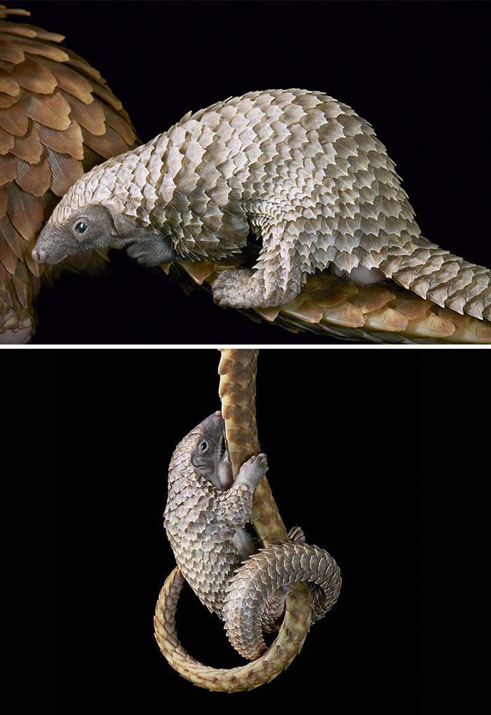 Белобрюхий ящер (панголин)