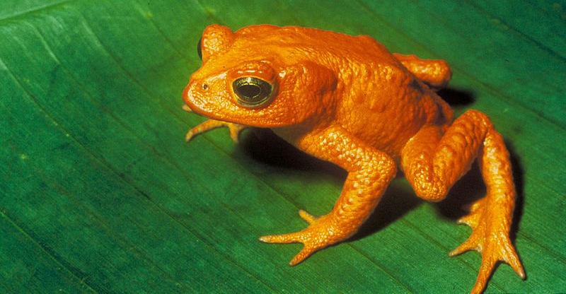 Оранжевая жаба