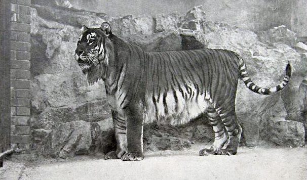 Туранский тигр, также закавказский тигр или каспийский тигр
