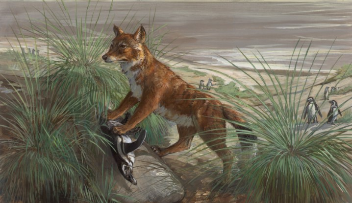 Варрах или фолклендская лисица