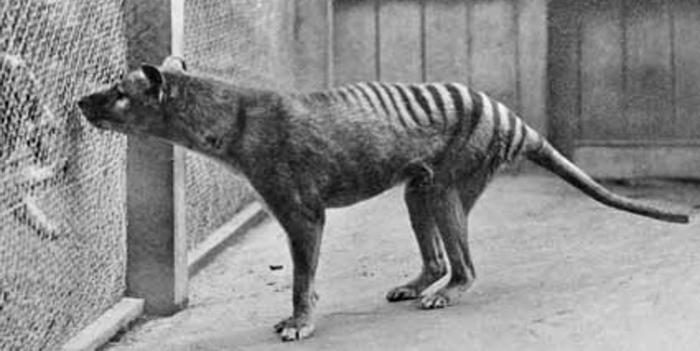 Сумчатый волк (также тасманийский волк или тилацин