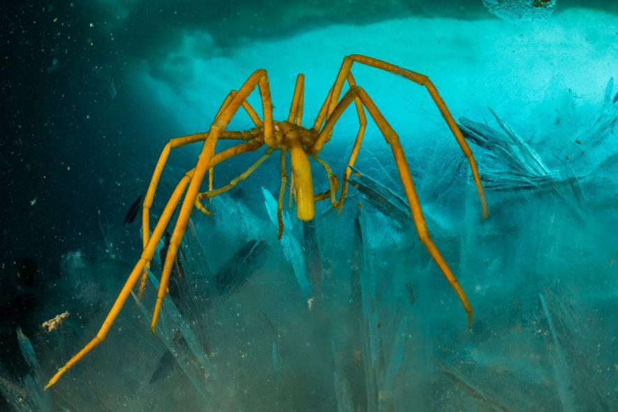 Homaxinella balfourensis - вид морских губок