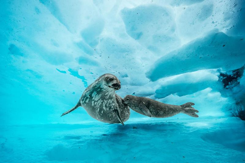 Тюлени Уэдделла