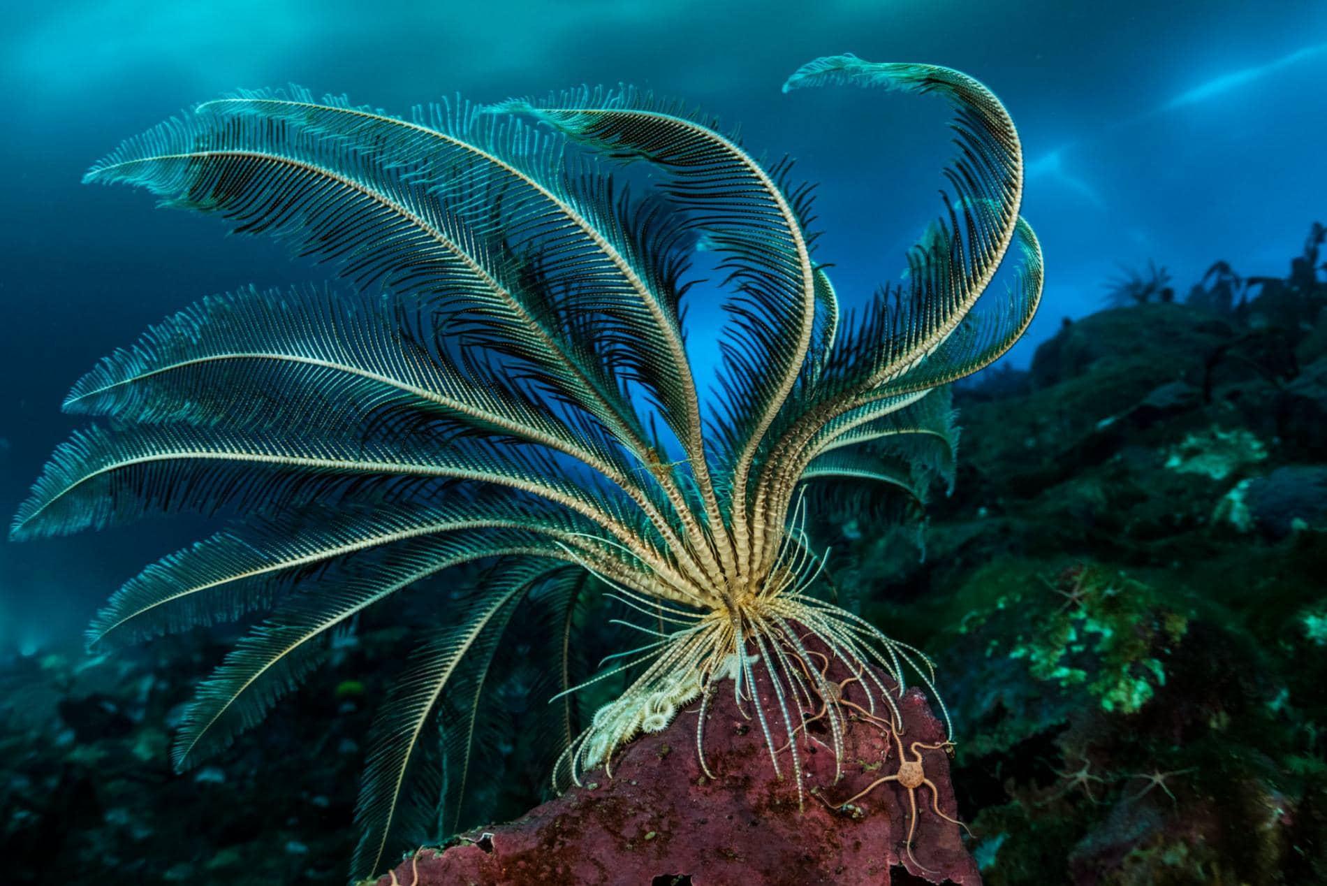 Promachocrinus kerguelensis - плавающее животное