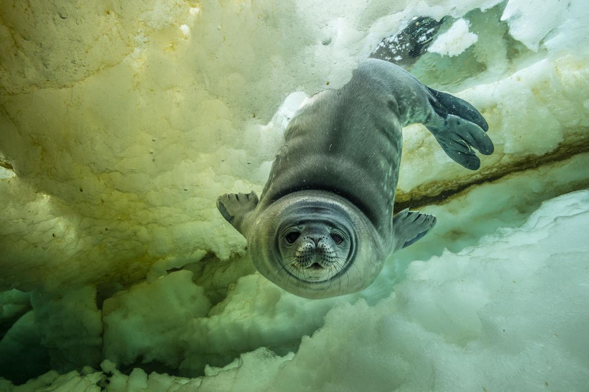 Молодой тюлень