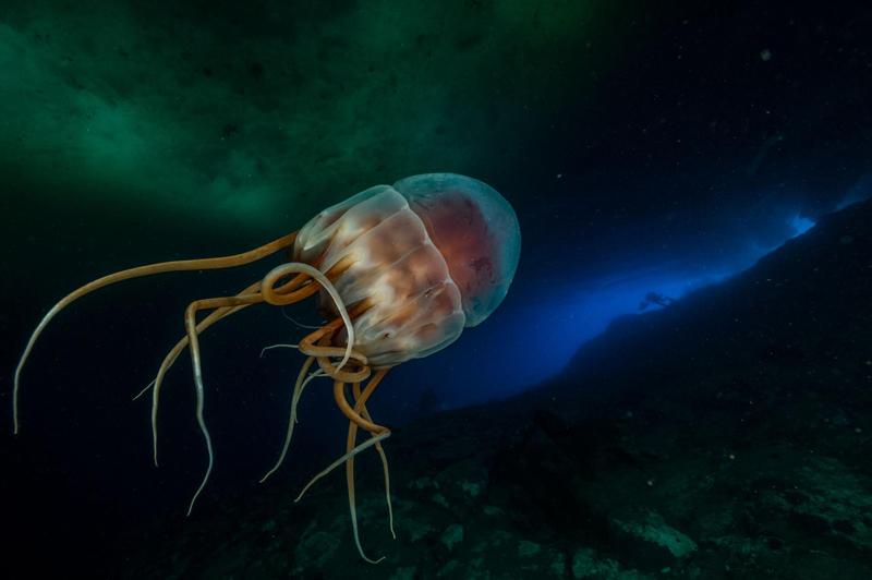 Periphylla periphylla - эти медузы избегают солнечного света, который может их убить