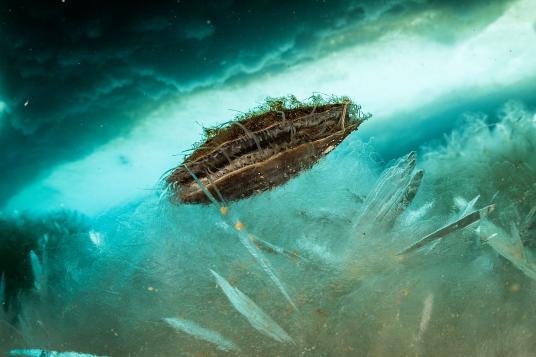 Adamussium colbecki - вид двустворчатых моллюсков. Эндемик антарктических вод